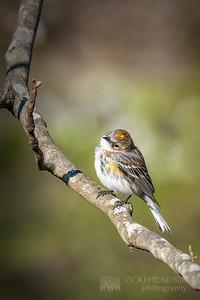 Yellow Rumped Warbler - Alabama