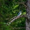Belted Kingfisher - Wind Creek State Park, Alabama<br /> <br /> (edited - Topaz Studio 2)