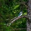 Belted Kingfisher - Wind Creek State Park, Alabama<br /> <br /> (edited - Topaz Studio 2)