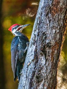 Pileated Woodpecker - Idaho