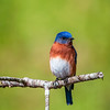 Male Eastern Bluebird - Alabama