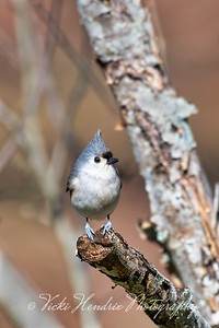 "Tufted Titmouse - Alabama  This small adorable songbird reminds me of ""Angry Birds,"" a popular video game several years ago. :)"