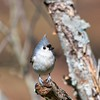 "Tufted Titmouse - Alabama<br /> <br /> This small adorable songbird reminds me of ""Angry Birds,"" a popular video game several years ago. :)"