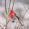 Pine Grosbeak on a Snowy Day