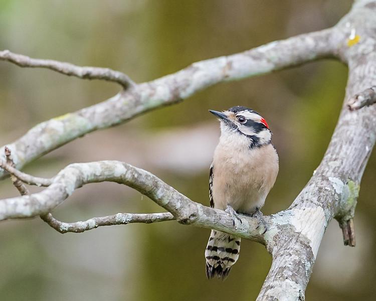 Smallest Woodpecker in North America