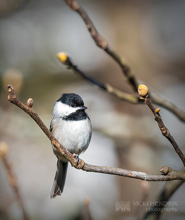 Carolina Chickadee - Alabama