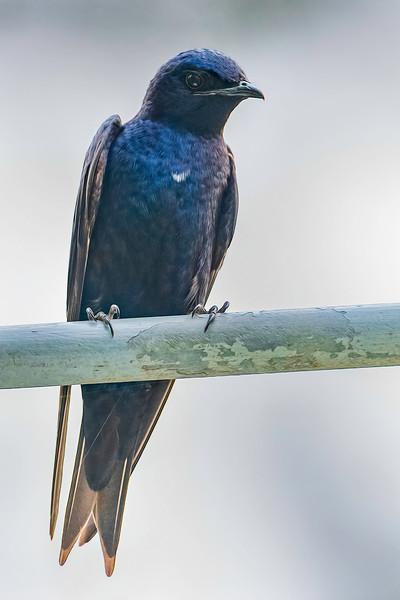 Purple Martin stands guard near its nest - Wind Creek State Park, Alabama
