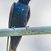 Purple Martin stands guard near its nest - Wind Creek State Park, Alabama