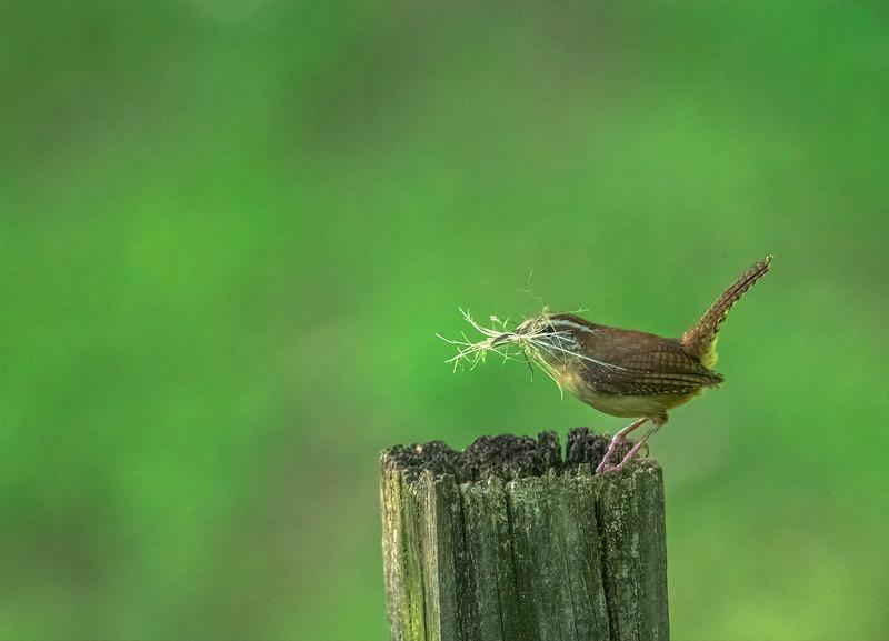 Carolina Wren with materials for a nest - Alabama