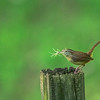 Carolina Wren with materials for a nest - Alabama