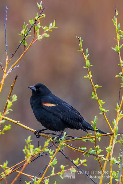 Red-Winged Blackbird - Grand Teton National park
