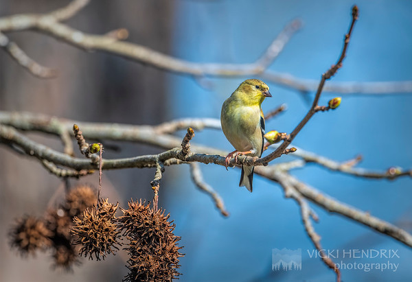 American Goldfinch in Winter - Alabama