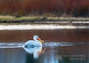 American White Pelican on the Snake River - Grand Teton National Park, Wyoming