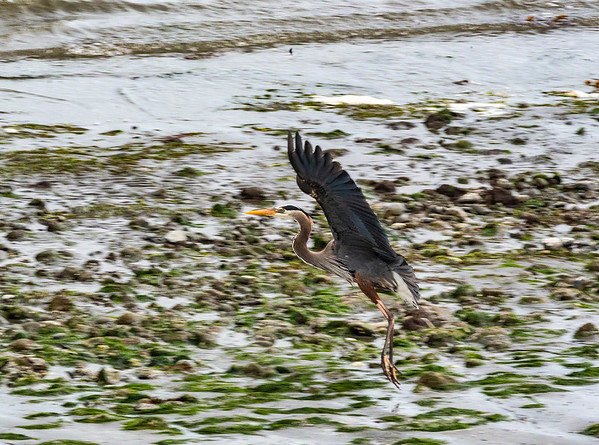 The magnificent Great Blue Heron gracefully landing on the shores of Puget Sound - Washington