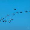American White Pelican in flight formation - Kearney, Nebraska