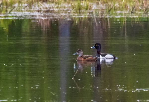 Ring-necked Duck - Harriman State Park