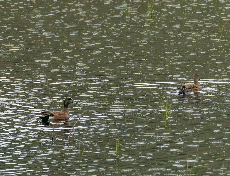 A pair of American Wigeon in the rain - Yellowstone National Park