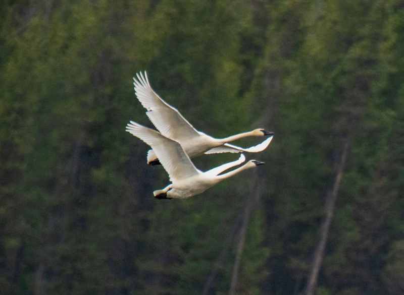 Flying Trumpeter Swans in tandem - Harriman State Park