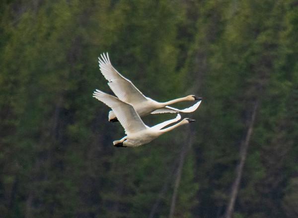 Flying Trumpeter Swans in tandem - Harriman State Park