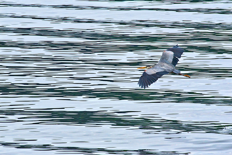 Great Blue Heron in flight - Puget Sound, Washington