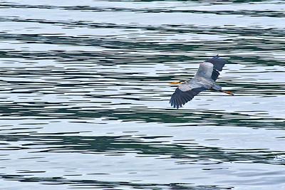 Great Blue Heron in flight - Puget Sound, Washington