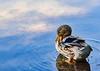 Mallard Duck hen - Aldridge Gardens, Alabama