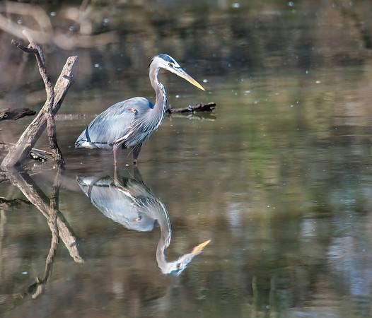 Great Blue Heron waits patiently for a prey to swim by. - Wheeler National Wildlife Refuge, Alabama