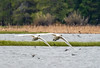 Trumpeter swans in flight amidst low-flying violet-green swallows - Harriman State Park