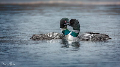 Loon Couple