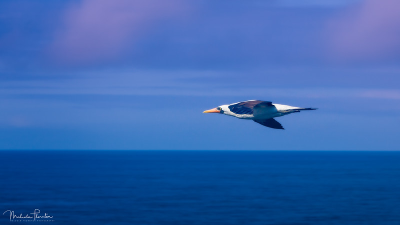 Flight of the Nazca Booby