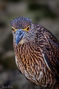 Juvenile Striated Heron