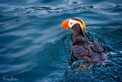 Swimming Tuffed Puffin