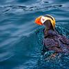 Swimming Tuffed Puffin