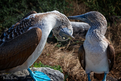 Blue-Footed Booby Couple