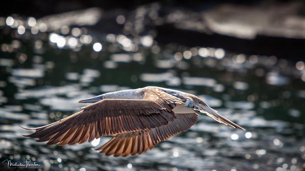 Blue-Footed Flight