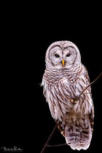 Northern Barred Owl