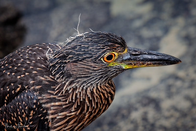 Juvenile Yellow-Crowned Night Heron