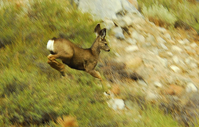 Leaping Mule Deer