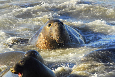 Male elephant Seal