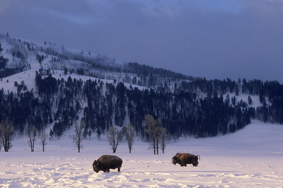 Bison Basking in Morning Light