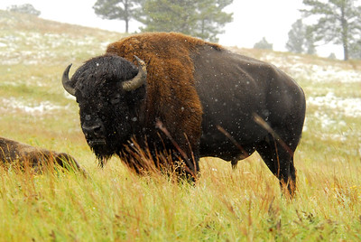 Magnificent Old Bison Bull