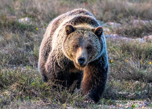 Grizzly #793 a.k.a. Blondie - Grand Teton National Park