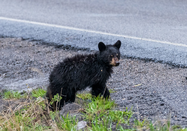 Black bear cub contemplates crossing the road - Yellowstone National Park