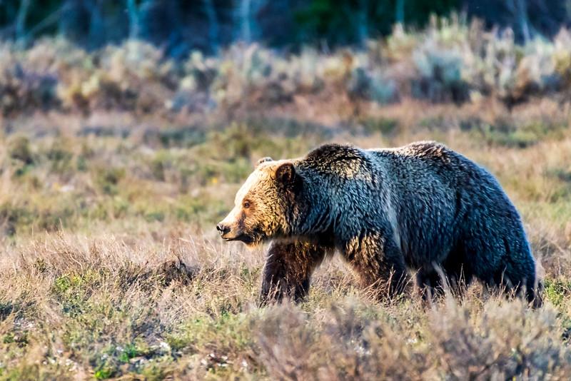 Grizzly 739 aka Blondie - Grand Teton National Park