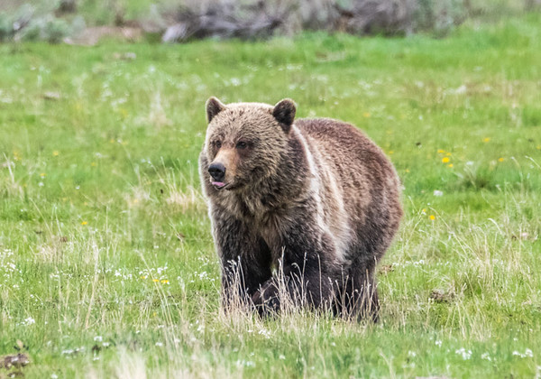 Grizzly Bear - Lamar Valley, Yellowstone National Park