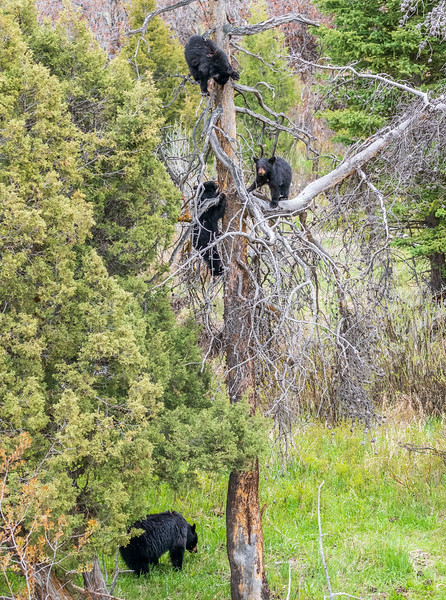 Black bear cubs in tree for safety as the sow keeps an eye - Yellowstone National Park