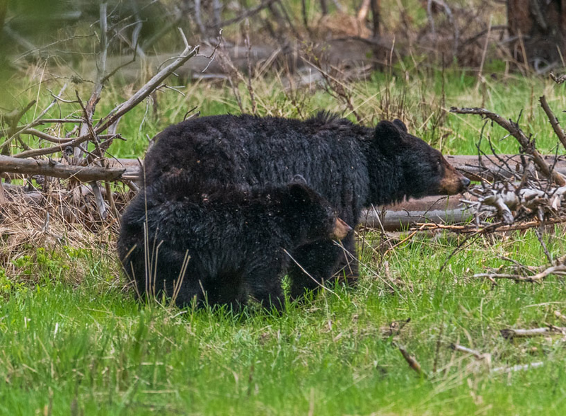 Black bear sow and cub - Yellowstone National Park
