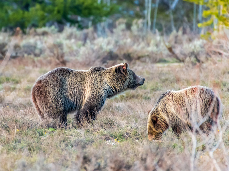 Grizzly #793 (Blondie) and her cub - Grand Teton National Park