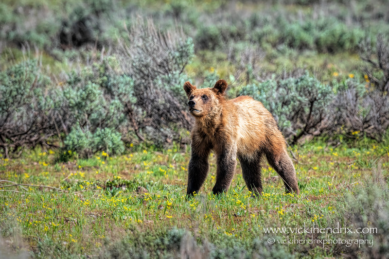 One of Grizzly #399's year-old cubs - Grand Teton National Park (May 2021)