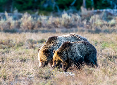 Blondie (Grizzy 793) and yearling - Grand Teton National Park